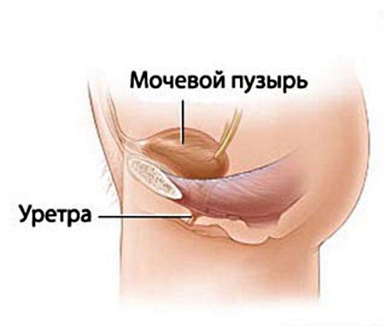 Строение женских органов малого таза: схема